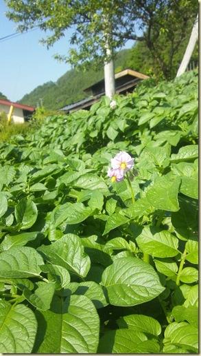H25下栗芋の花